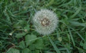 Picture grass, dandelion, plant, oduvan, achenes