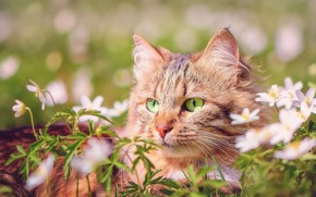 Picture cat, summer, grass, cat, look, face, flowers, nature, portrait