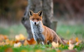 Picture autumn, look, blur, Fox, red, bokeh