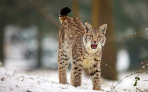 Picture winter, forest, language, cat, look, snow, pose, mouth, beauty, lynx