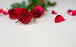 Picture roses, petals, Bouquet, red