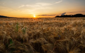 Picture field, summer, sunset