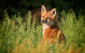 Picture summer, grass, look, nature, background, meadow, Fox, red, Fox, Fox, Fox, Fox