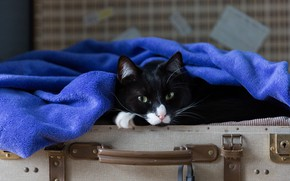 Picture cat, cat, look, face, blue, pose, black, portrait, towel, lies, suitcase, green-eyed, tricky, voyage, Terry