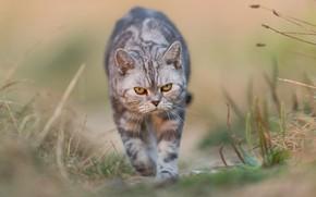 Picture cat, cat, nature, background, evil, walk, evil