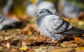 Picture autumn, leaves, bird, dove