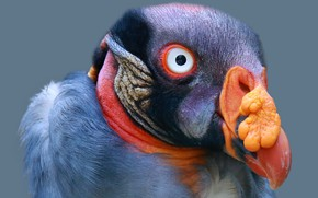 Picture nature, bird, King vulture