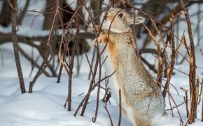 Picture winter, snow, rabbit, rabbit, twigs