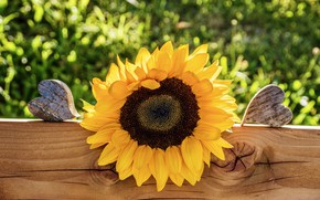 Picture flower, summer, grass, light, yellow, Board, the fence, sunflower, heart, garden, hearts, sunflower, bokeh, wooden