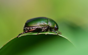 Picture Macro, Leaf, Green, Beetle