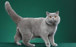 Picture cat, cat, look, pose, grey, British