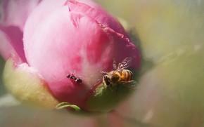 Picture macro, bee, ant, peony