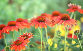 Picture summer, flowers, garden, red, orange, green background, bokeh, rudbeckia, Echinacea