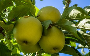 Picture Nature, Tree, Fruit, Apples, Green Apples