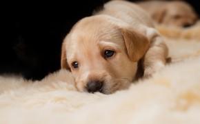Picture dog, small, muzzle, puppy, beige
