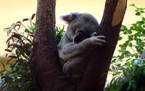 Picture leaves, pose, background, tree, sleep, Koala