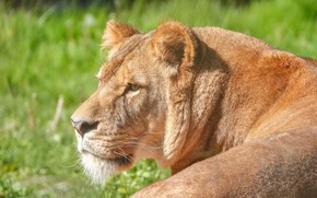 Picture face, portrait, profile, lioness, wild cat