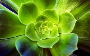 Picture leaves, macro, plant, green, succulent, Echeveria