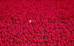 Picture field, tulips, Netherlands, buds, plantation, red tulips, white Tulip