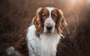 Picture look, face, light, nature, portrait, dog, Spaniel, blade, brown and white