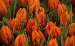 Picture bouquet, tulips, orange, buds, a lot, striped