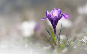 Picture flower, light, lilac, spring, light background, Krokus, bokeh
