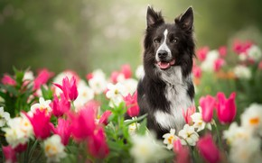 Picture flowers, dog, blur, garden, tulips, daffodils, The border collie