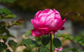Picture flower, leaves, background, pink, rose, garden, Bud