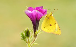 Picture flower, summer, macro, background, pink, butterfly, Bud, insect, yellow, Petunia