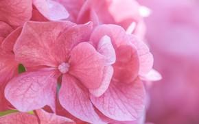 Picture macro, flowers, pink, hydrangea