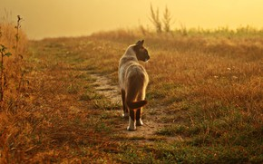 Picture field, cat, grass, cat, look, pose, background, mood, the evening, walk, path, Siamese