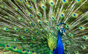 Picture bird, feathers, tail, peacock, stroke, opened, fan, a wave of the tail