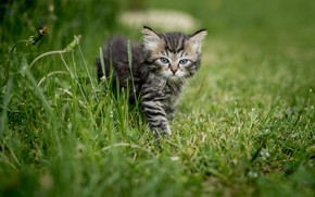 Picture summer, grass, look, nature, animal, cub, kitty