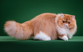 Picture cat, cat, look, face, pose, fluffy, red, pers, green background, yellow eyes, Persian, extreme, Studio, …