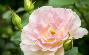 Picture leaves, close-up, pink, rose, Bush, buds