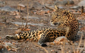 Picture look, pose, leopard, lies, wild cat
