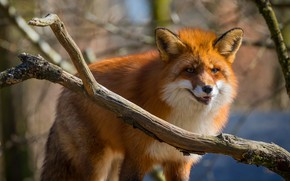 Picture look, face, branches, pose, background, tree, branch, Fox, red, wildlife, Fox, bokeh, fluffy, evil, unhappy