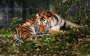 Picture autumn, grass, look, leaves, nature, tiger, pose, foliage, paws, lies