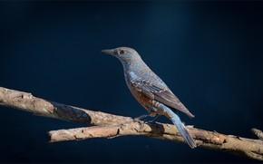 Picture bird, branch, blue rock thrush