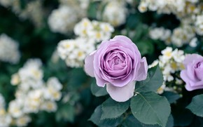 Picture leaves, flowers, rose, roses, garden, white, lilac, bokeh