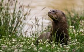Picture grass, nature, river, shore, clover, otter, river