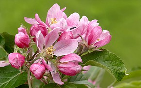 Picture nature, spring, Apple, flowering