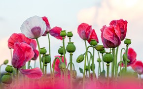 Picture flowers, Maki, pink, white, light background, poppy field