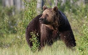 Picture grass, trees, nature, animal, predator, bear