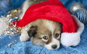 Picture look, balls, red, pose, background, holiday, blue, portrait, dog, baby, Christmas, cute, puppy, New year, …