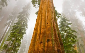 Picture fog, CA, USA, big tree, the giant Sequoia, giant Sequoia, mammoth tree, a big tree …