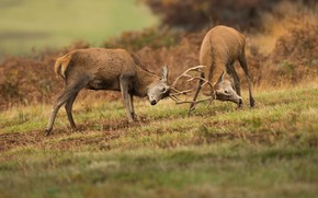 Picture nature, deer, pair, horns, battle, deer, fight, two, rivals, males