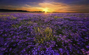 Picture field, the sun, landscape, sunset, flowers, nature