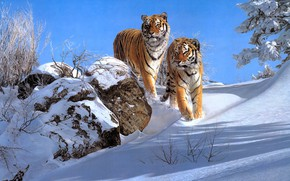 Picture winter, snow, pair, tigers, two, two tigers, Simon Combes