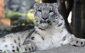 Picture face, portrait, paws, lies, IRBIS, snow leopard